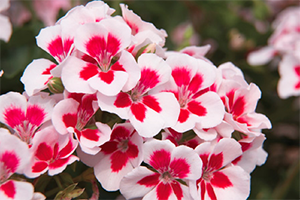 SAF Work with APHIS on Geraniums, Certification, Farm Bill Funds
